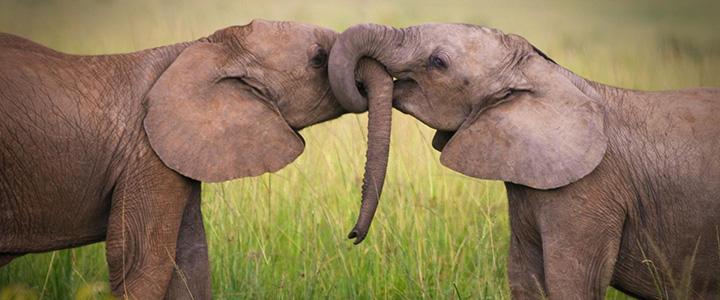 elephants-kissing-feat