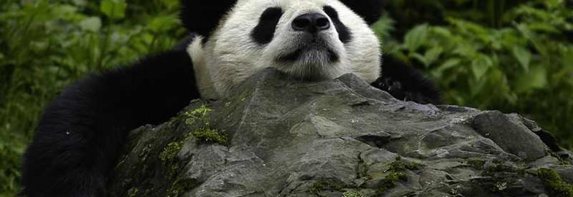 Giant-panda-800px-Bernard_DE_WETTER-c-WWF