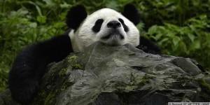 Giant Panda No Longer Endangered!