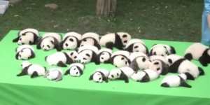 Check Out These 23 Baby Pandas Making Their World Debut