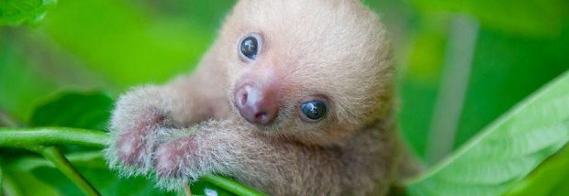 d8yru-baby-sloth-1-620x400