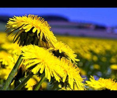 dandelionedibleweed.jpg.662x0_q70_crop-scale