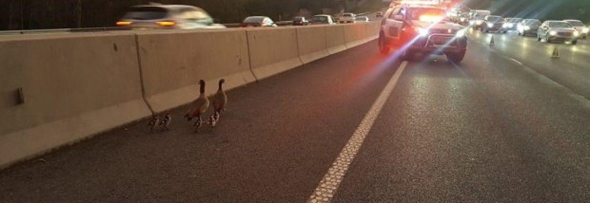 family-ducks-saved-3-620x400